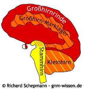 Gehirn und Keimblätter in der GNM