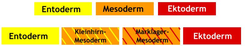 Mesoderm-Aufteilung