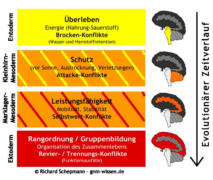 Keimblätter und Gehirn im Zeitverlauf