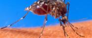 Mücke und Mikroben