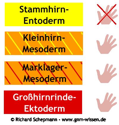 Händigkeit und Gehirn