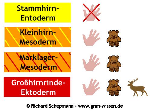 Händigkeit und Gehirn in der GNM