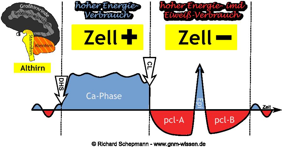 Hamerscher Kompaß - Althirn und Energieverbrauch