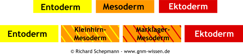 GNM - Drei Keimblätter